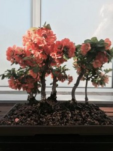 mother's day bonsai show